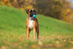 german boxer dog standing outdoors in autumn