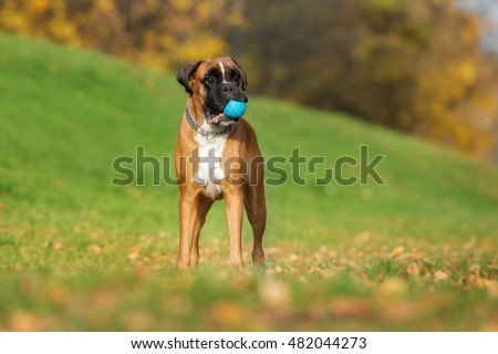 german boxer dog standing outdoors in autumn #482044273