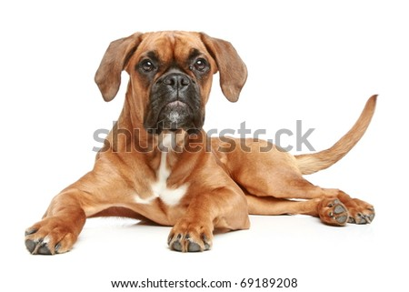 German Boxer (5 month) lying on a white background