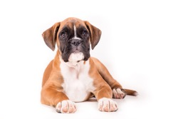 German boxer puppy