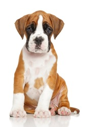 German Boxer puppy in front of white background