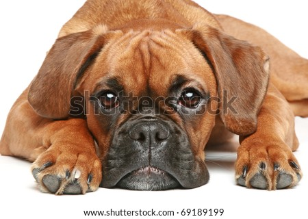 German Boxer puppy (5 month) lying on a white background - stock photo
