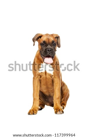 German Boxer puppy (5 month) on a white background