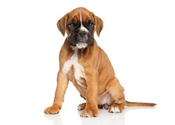 German boxer puppy. Portrait on a white background