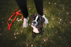 german boxer puppy sitting by owner legs, top view portrait