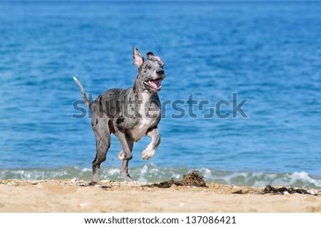 German dog running on the beach