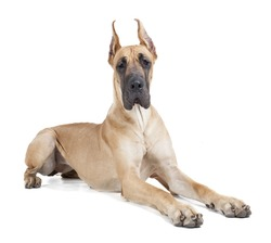 German dogge on a white background in studio