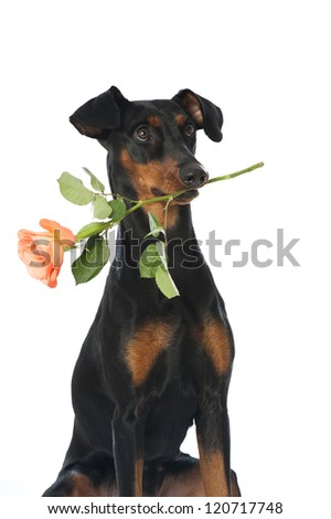 German pinscher with rose