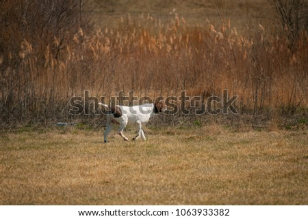 German pointer hunting in the field #1063933382
