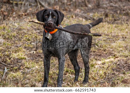 German pointer, pointer puppy #662591743