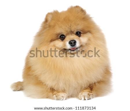 German (Pomeranian) Spitz dog in studio on white background