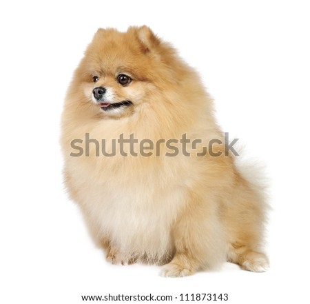 German (Pomeranian) Spitz dog in studio on white background