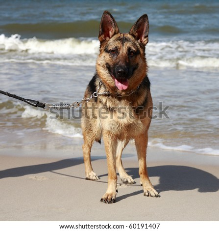 german sheepdog portrait over sea background