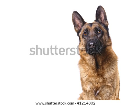 german shepard isolated on white with space for text