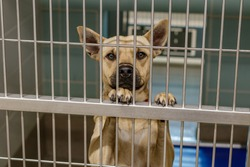 German shepard mix breed behind bars standing with paws on cage gate in a kennel type cage at the large dog pound animal control shelter looking for adoption or foster to a family and a good home.