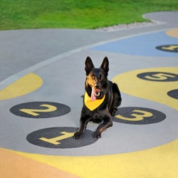 German shepher laying at the playground with numbers on the floor