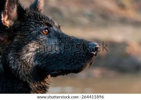 German shepherd #264411896