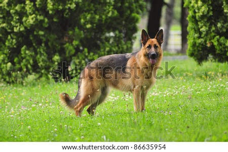 German Shepherd a year in the grass