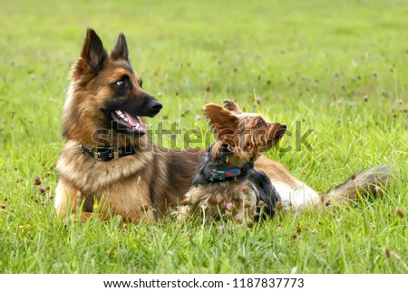 German Shepherd bitch and Yorkshire Terrier bitch lying side by side