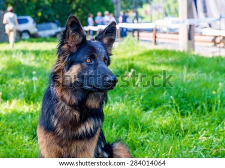 German shepherd black and brown. The German shepherd is on the green grass.