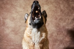 German shepherd catches food on brown studio background. Emotional shots with close up portrait of dog. Adorable pet dog eats dry food and poses.