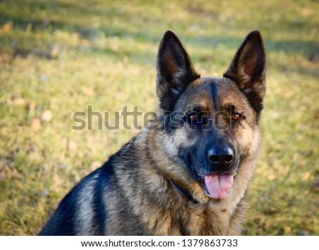 German shepherd dog #1379863733