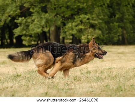 German shepherd dog #26461090