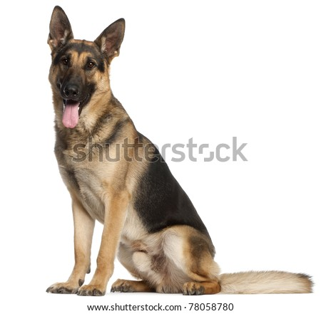 German Shepherd Dog, 2 and a half years old, sitting in front of white background