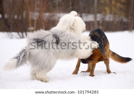 German Shepherd dog and bobtail playing on the snow