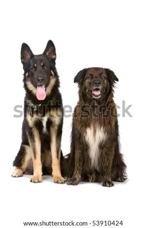 german shepherd dog and mixed breed dog - stock photo