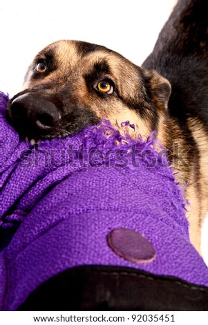 German Shepherd dog biting an arm
