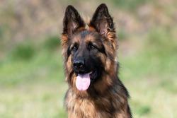 German Shepherd dog face looking nice