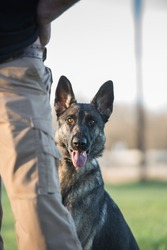 German Shepherd dog in a sitting position behind a person's leg