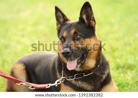 German shepherd dog in dog sport  #1392382382