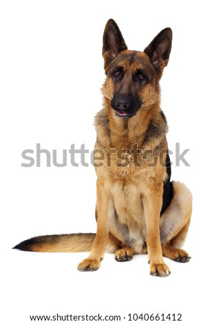German Shepherd dog in full growth on a white background isolated #1040661412