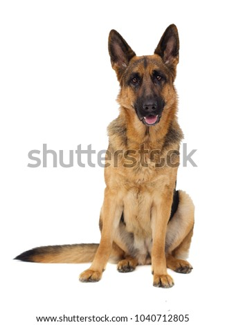 German Shepherd dog in full growth on a white background isolated #1040712805