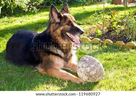 german Shepherd dog in the garden