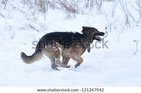 German Shepherd dog in the snow