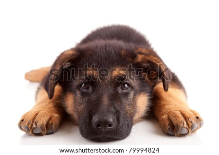 German Shepherd dog, isolated over white