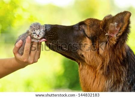 German shepherd dog kissing little tabby kitten