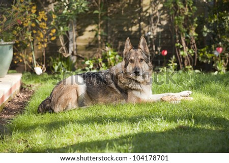 German Shepherd Dog laid on a lawn in a garden, looking at the camera. The dog is wearing a collar and has a stick on his front paws.