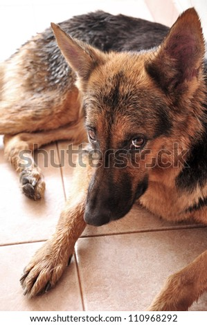 German shepherd dog laying in home