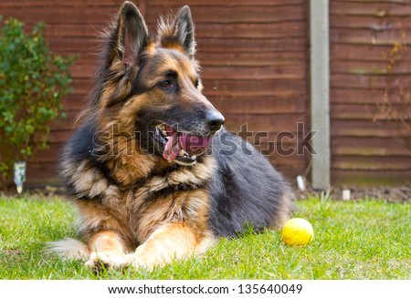 german shepherd dog laying in the garden with a ball in his mouth