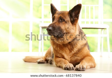 German shepherd dog looking aside and laying on the floor in home waiting for her owner, with sunny window in the background