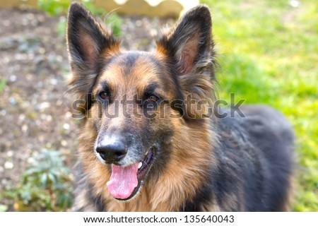 german shepherd dog looking straight ahed with tongue panting