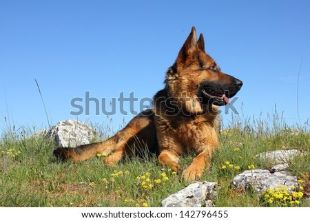 German Shepherd Dog lying.