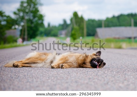 german shepherd dog lying down on the road
