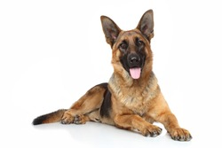 German shepherd dog lying on white background