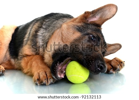 German Shepherd Dog, 4 months old, playing with ball isolated on white background