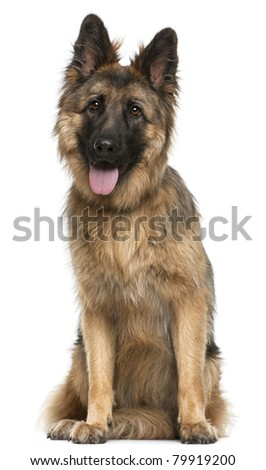 German Shepherd Dog, 21 months old, sitting in front of white background